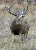 Mule Deer Tags