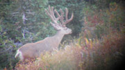 Long Tined Trophy Bucks - Founder's Webcast