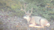 Sweet High Country Mule Deer - Founder's Webcast